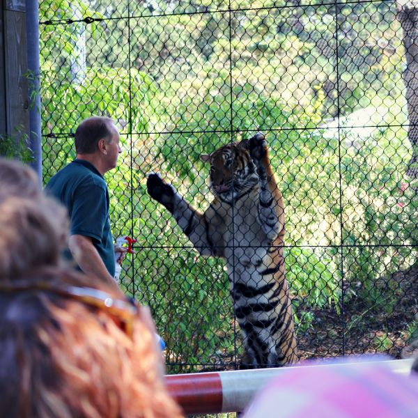 Tiger Gate Experience - A visit to the Woodland Park Zoo