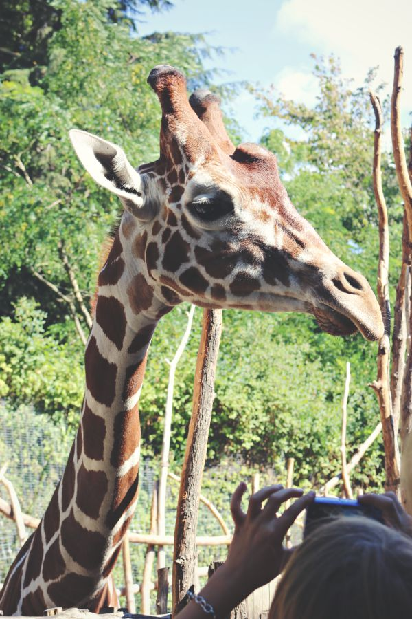 Feeding giraffes - A visit to the Woodland Park Zoo